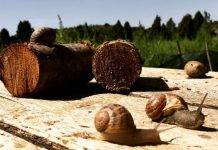 Allevamento di lumaca madonita | ScoprireCoseBelle